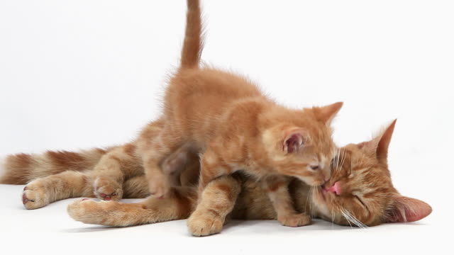 MS Shot of red tabby domestic female cat with Kitten / Vieux Pont, Normandy, France