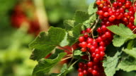 ECU Shot of redcurrant, Ribes / Serrig, Rhineland-Palatinate, Germany