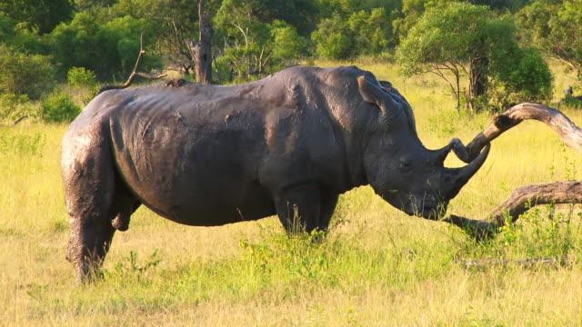 MS TS Shot of Rhino rubbing horn on log  / Kruger National Park, Mpumalanga, South Africa