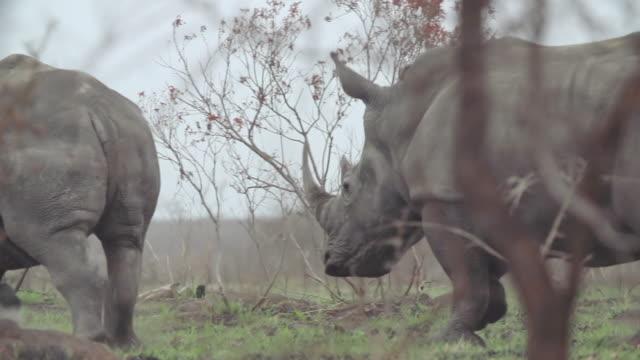 MS SLO MO TS Shot of Rhino running away / Kruger National Park, Mpumalanga, South Africa