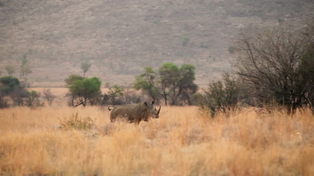MS TS Shot of rhino running in dry field / Pilansberg, North west, South Africa