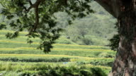 Shot of rice paddy and tree