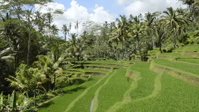 MS Shot of Rice terrace surrounded by tree / Gunung Kawi, Bali, Indonesia