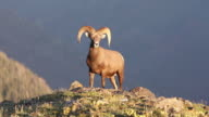 MS Shot of Rocky mountain bighorn sheep ram (Ovis canadensis) standing on top of ridge at sunset / Grand lake, Colorado, United States