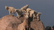 MS  shot of rocky mountain goat kids (Oreamnos americanus) playing on the rocks at 14500' with a bighorn sheep ewe in front of them