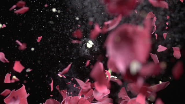 CU SLO MO Shot of rose that explodes and is torn to pieces / Munich, Bavaria, Germany