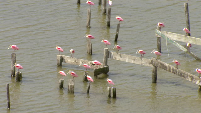 MS AERIAL ZI Shot of roseate spoonbills sitting on wood in water / Louisiana, United States