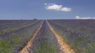 TU Shot of rows of lavender in field