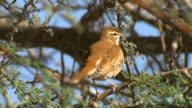 CU Shot of Rufous tailed Scrub Robin (Cercotrichas galactotes) hiding on acacia tree / Arava, Negev Desert, Israel