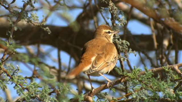 CU Shot of Rufous tailed Scrub Robin (Cercotrichas galactotes) hiding on acacia tree / Arava, Negev Desert, Israel