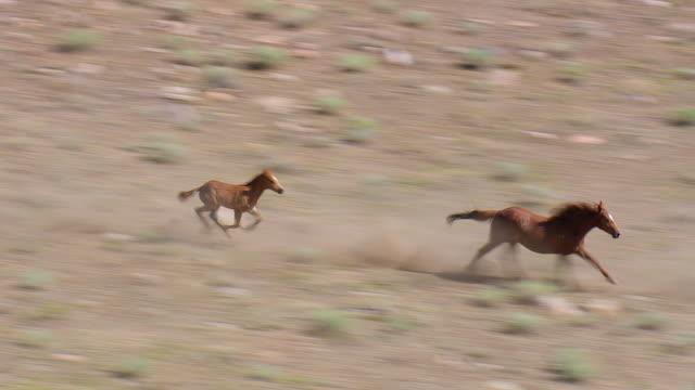 WS AERIAL TS ZO Shot of running Mustang / Wyoming, United States
