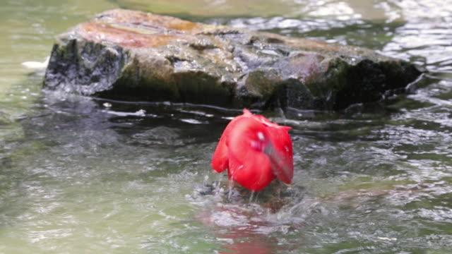 MS Shot of Scarlet Ibis in river / Tsuwano, Shimane Prefecture, Japan