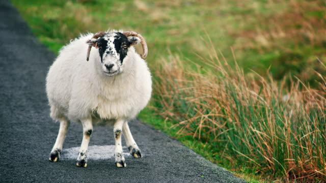 MS TS Shot of scottish sheep walking on road / Skye Island, Scotland, United Kingdom