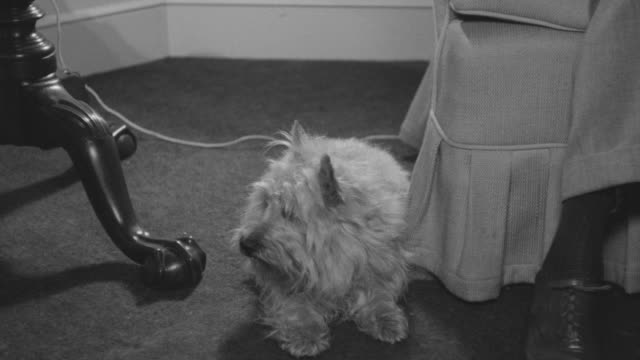 MS TS Shot of Scottish Terrier dog running near window and barking in living room