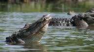 CU PAN Shot of Several American Alligators raising heads above water / Paynes Prairie, Gainsville / Gatorland, Orlando, United Kingdom
