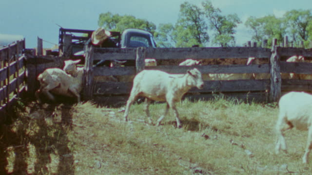 MS Shot of sheep exiting from wooden fence