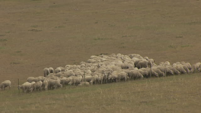 MS AERIAL TS ZO Shot of Sheep huddled up together by fence in Natrona County / Wyoming, United States