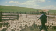 MS Shot of sheep lambs running in byre