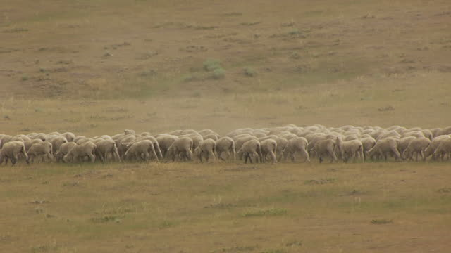 MS AERIAL TS Shot of Sheep running and eating grass in Natrona County / Wyoming, United States