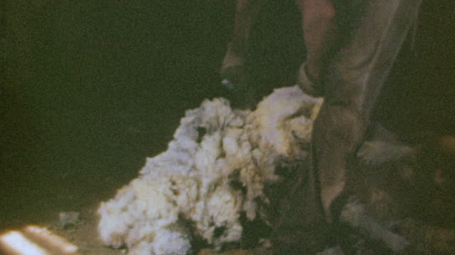 CU Shot of sheep shearing