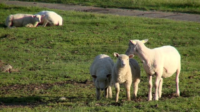 MS Shot of sheep's on salt meadows, North Sea North Frisia / Westerhever / Westerhever, Schleswig Holstein, Germany