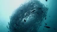 MS Shot of Silhouette of schooling barracuda swimming in tornado / Sipadan, Semporna, Tawau, Malaysia