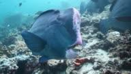CU TS Shot of Single bumphead parrotfish / Sipadan, Semporna, Tawau, Malaysia