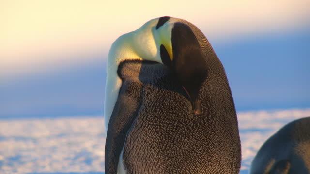 CU Shot of Single Emperor penguin preening back feathers in sunlight / Dumont D'Urville Station, Adelie Land, Antarctica
