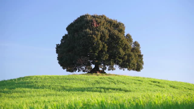 MS Shot of Single old tree on hill at sunrise / Siena, Tuscany, Italy