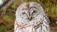 CU Shot of Sleepy barred owl / Brighton, Ontario, Canada