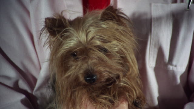 MS Shot of Small yorkshire terrier in ladies hands  / Los Angeles, California, United States
