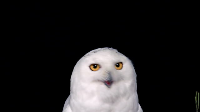 MS Shot of Snowy owl adult looking aroung and Shaking Head / Scandinavia, Scandinavia, Sweden