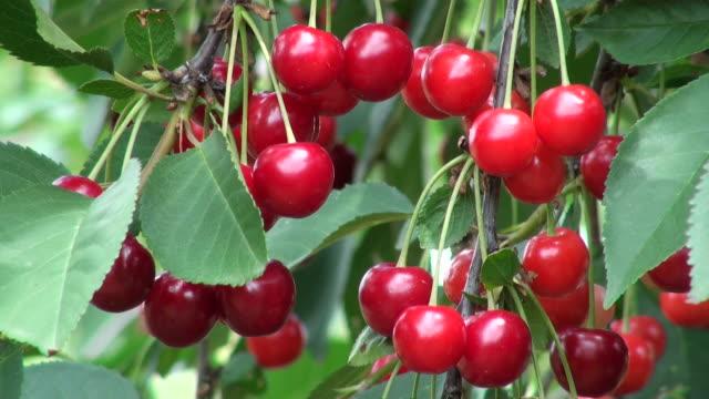 MS Shot of sour cherries, prunus cerasus / Serrig, Rhineland-Palatinate, Germany