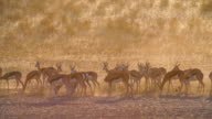 MS Shot of Springboks grazing in savannah at sunset / Etosha National Park, Namibia