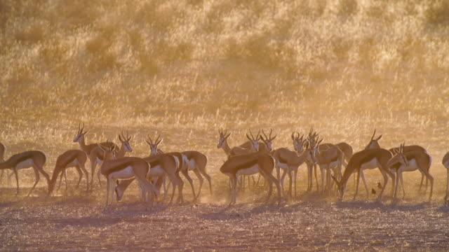 MS Shot of Springboks grazing in savannah at sunset / Etosha National Park, Namibia