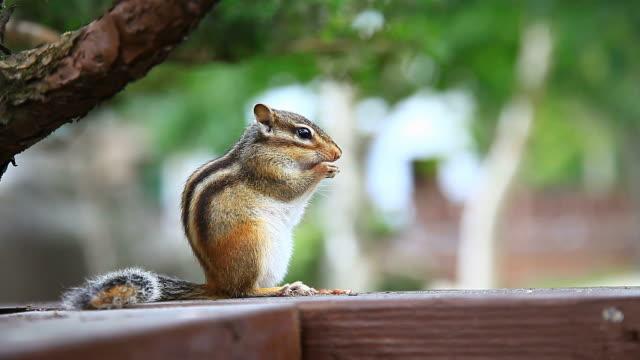 CU Shot of Squirrel eating nut / Pyeongchang, Gangwon do, South Korea