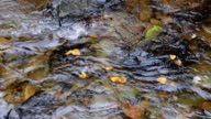 CU Shot of stream and floating autumn colored leaves / Libby, Montana, United States