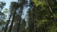 MS TU Shot of tall spruce trees and sky / Schwende, Appenzell Innerhoden, Switzerland
