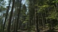 MS TD Shot of Tall spruce trees and sky / Schwende, Appenzell Innerhoden, Switzerland