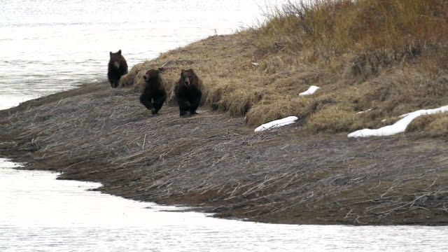 WS shot of three grizzly bear cubs (Ursus arctos) running directly at the camera with snow and water in the background