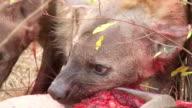 CU TS Shot of Three hyenas feeding and fighting over Kudu carcass  / Kruger National Park, Mpumalanga, South Africa