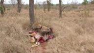 MS ZI Shot of Three hyenas feeding and fighting over Kudu carcass  / Kruger National Park, Mpumalanga, South Africa