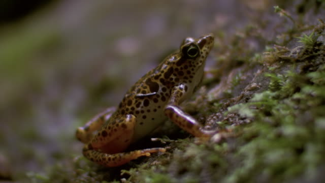 CU Shot of Toad Mountain harlequin frog sits quietly then jumps out / Panama