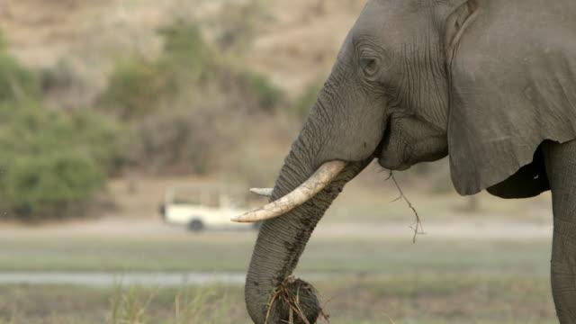 MS R/F Shot of Tourists on gamedrive vehicle in Chobe national park to Elephant feeding / Kasane, Botswana, South Africa