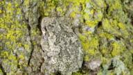 CU Shot of Tree frog on maple tree / Tweed, Ontario, Canada