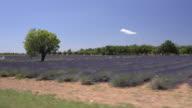 MS POV Shot of Tree in lavender field