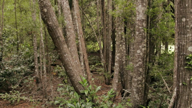 MS TU Shot of trees in rain forest / Koke'e State Park, Kauai, Hawaii, United States