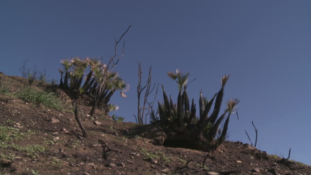 MS Shot of Trees regrowth after bushfires / Marbella, Andalusia, Spain