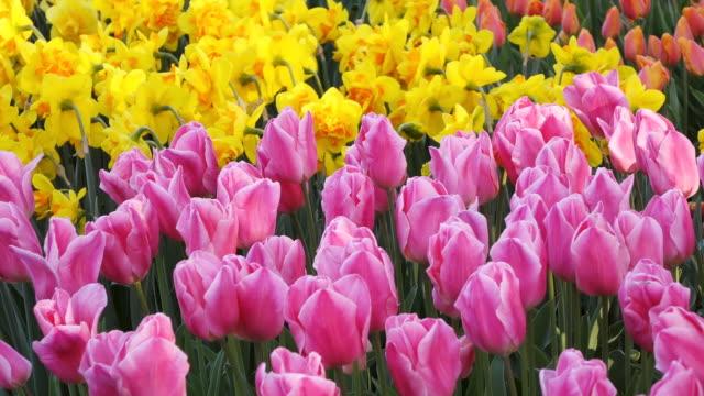 CU Shot of tulip fields at Keukenhof Gardens / Lisse, South Holland, Netherlands
