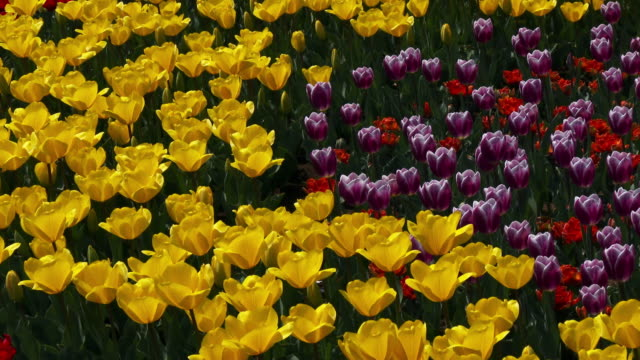 MS PAN Shot of Tulip flower bed at Showa memorial National park / Tachikawa shi, Tokyo, Japan